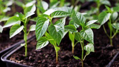 como plantar pimenta poblano