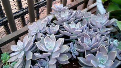 como plantar planta fantasma