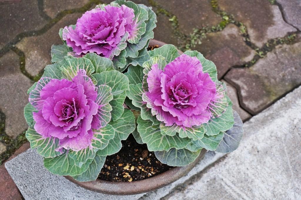 como plantar repolho ornamental