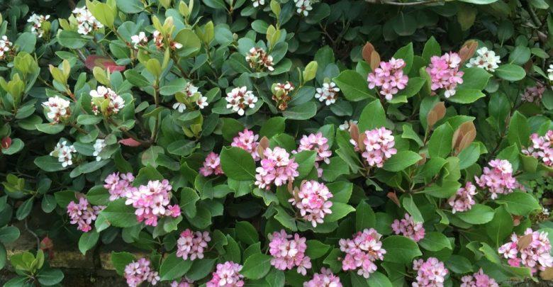 como plantar rhaphiolepis indica