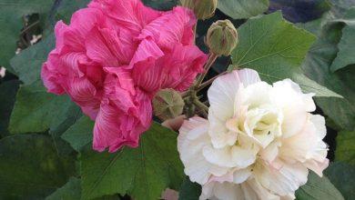 como plantar rosa confederada