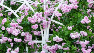 como plantar rosa trepadeira