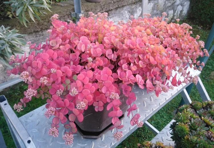 como plantar sedum sieboldii