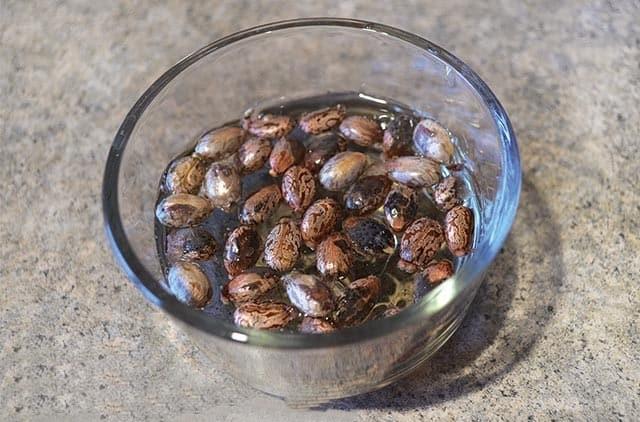 como plantar sementes de mamona