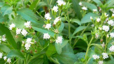 como plantar stevia