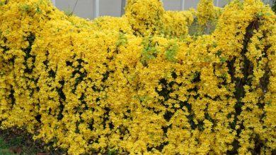 como plantar trepadeira unha de gato amarela