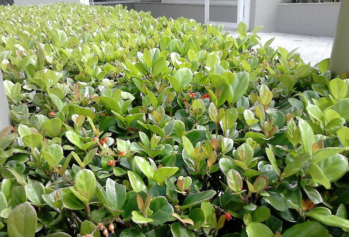 como plantar viburno