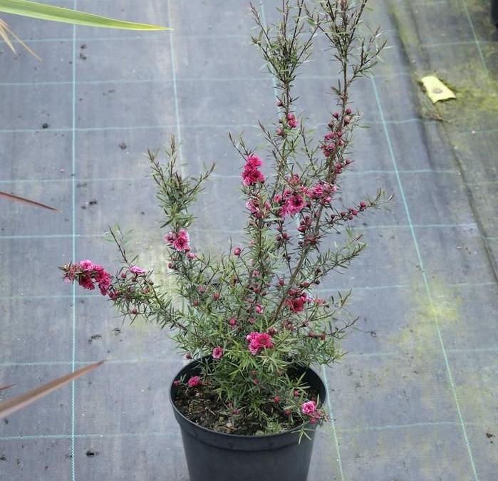 erica japonesa como plantar
