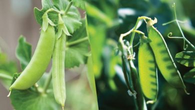ervilhas organica