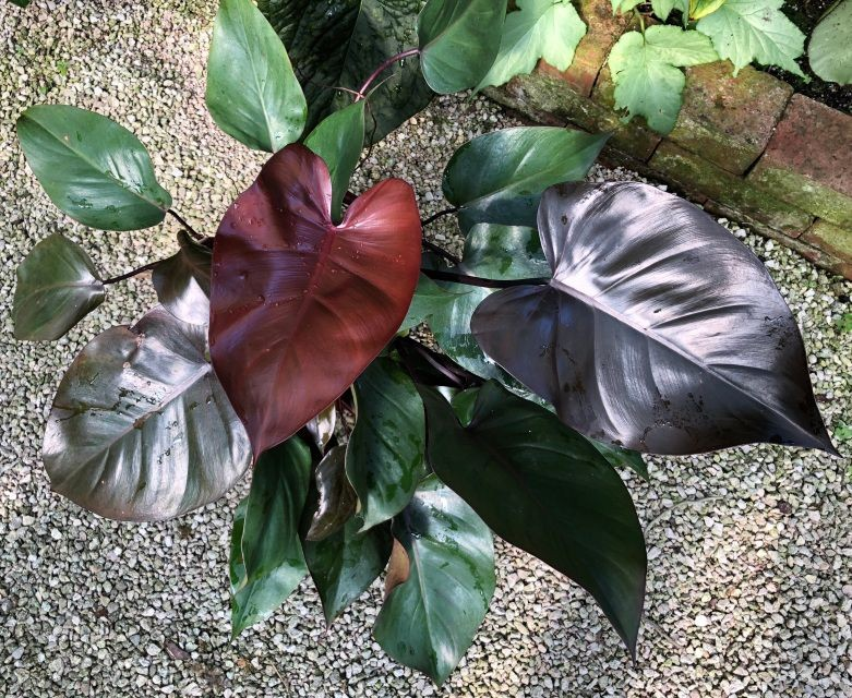 filodendro roxo como plantar