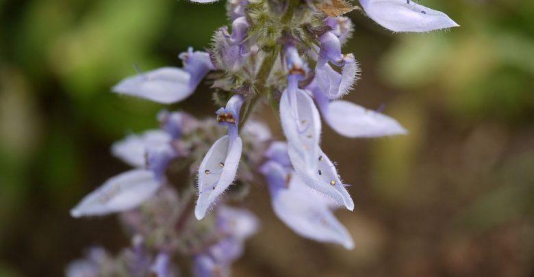 flor de espigão azul