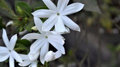 flor jasmim branco