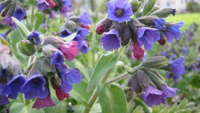 flor pulmonária como cultivar