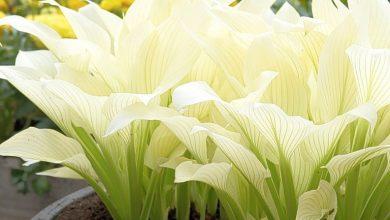 hosta de penas brancas como plantar