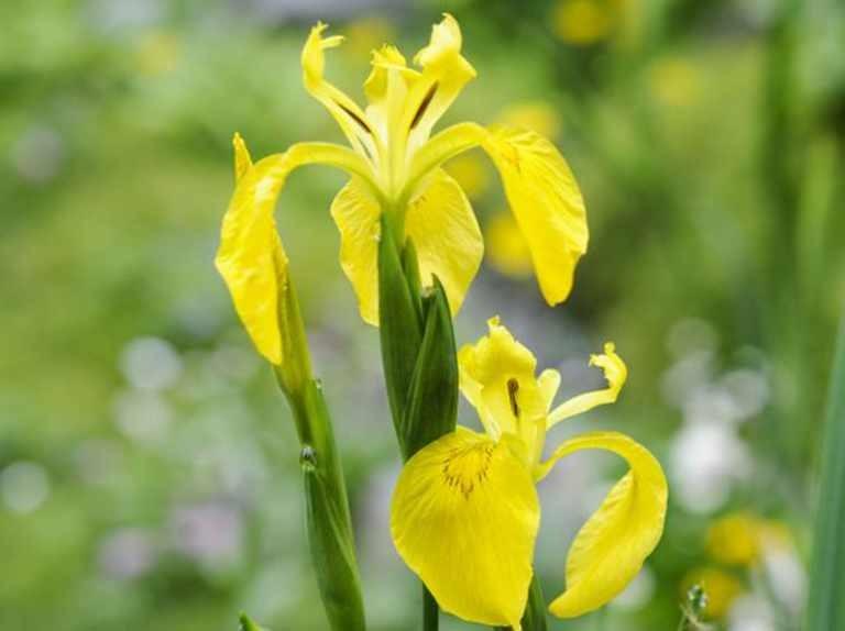 iris amarela como plantar