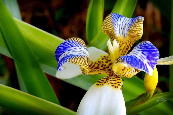 iris da praia como plantar