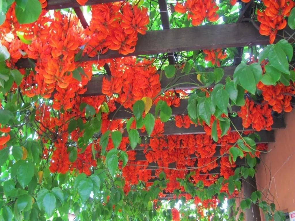 jade vermelha como plantar