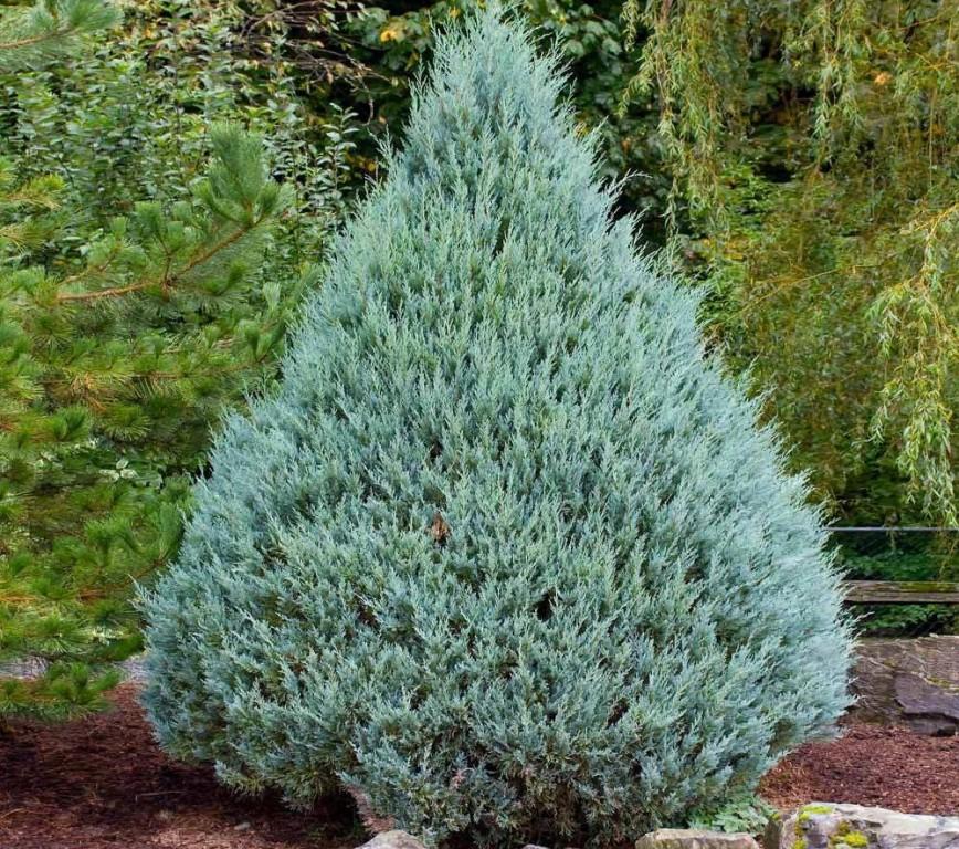 juniperus communis como plantar