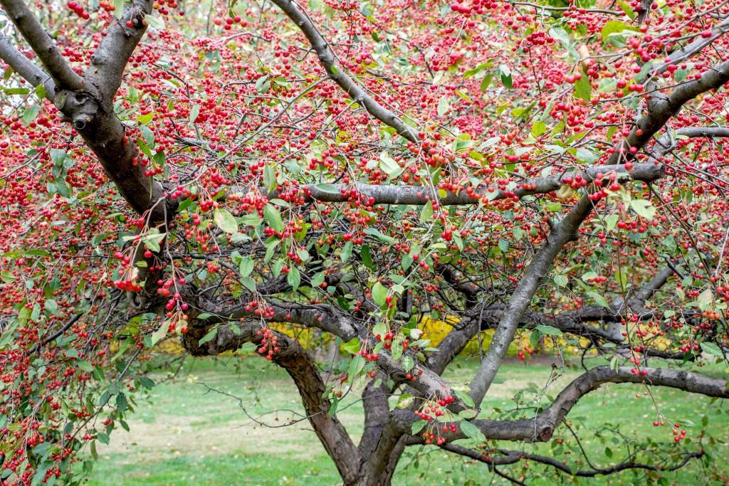 maçãs silvestres em flor