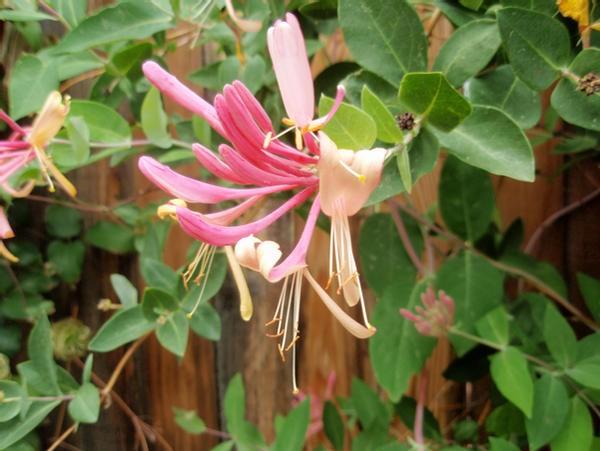 madressilva japonesa como plantio