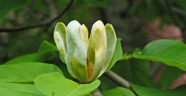 magnólia de pepino