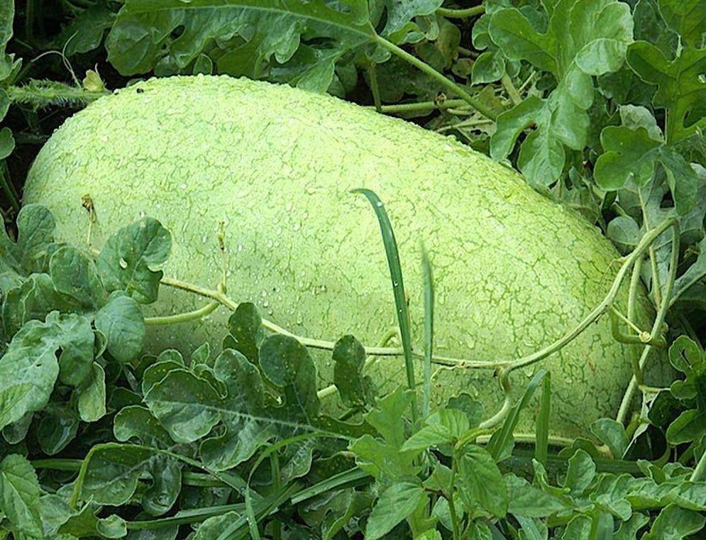 melancia charleston gray super colheita