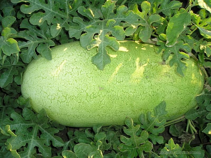 melancia charleston gray super como plantar
