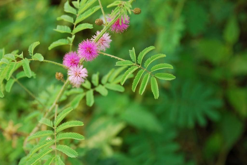 mimosa pudica como plantar