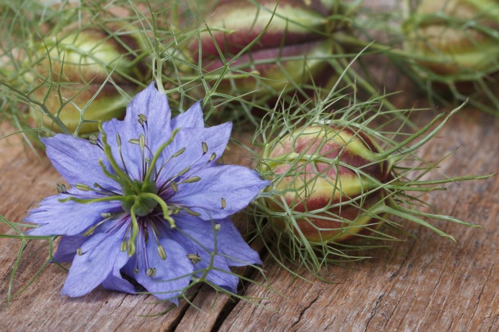 nigela planta
