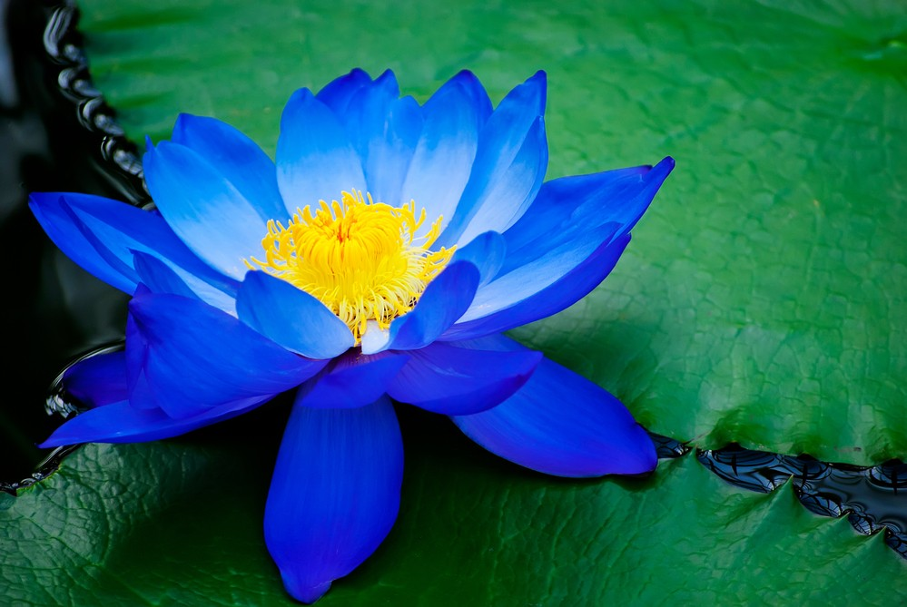 ninfeia-azul como plantar