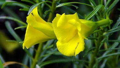 oleandro amarelo