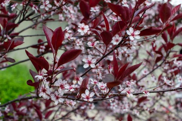 onde plantar arbusto de cereja