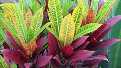 onde plantar codiaeum colorida