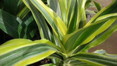 onde plantar dracaena lima
