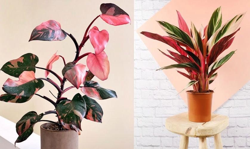 onde plantar filodendro de princesa rosa