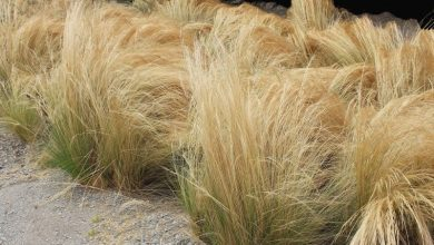 onde plantar grama de junco