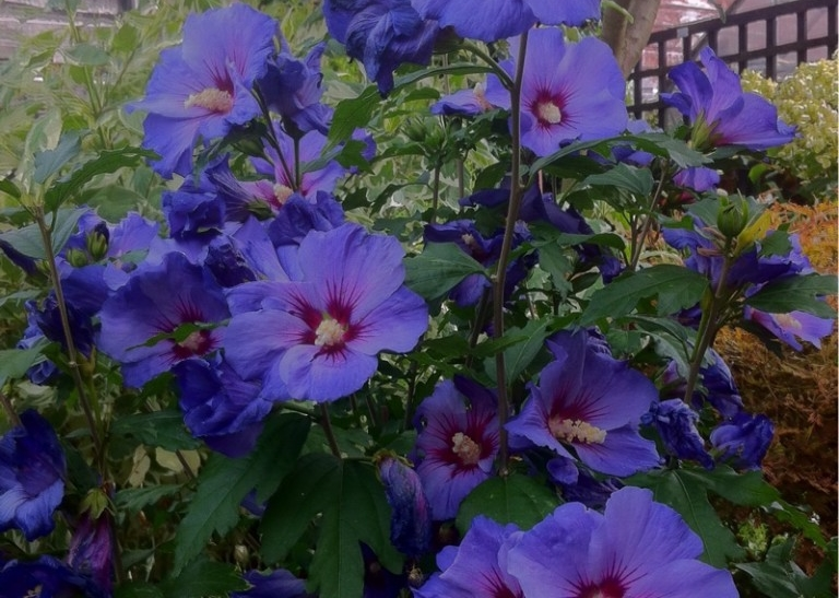 onde plantar hibisco azul