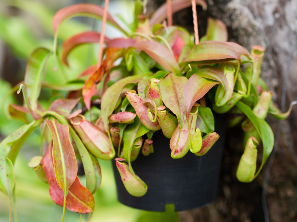 onde plantar nepenthes