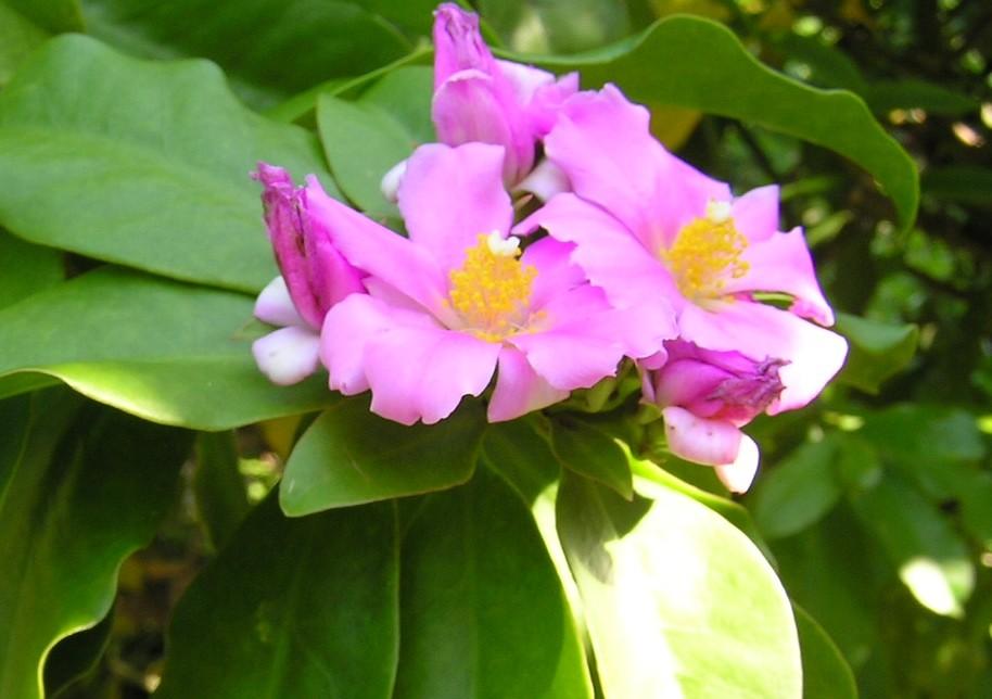 onde plantar pereskia bahiensis