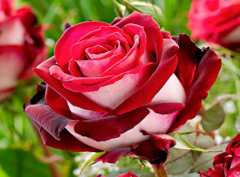 onde plantar rosa osiria