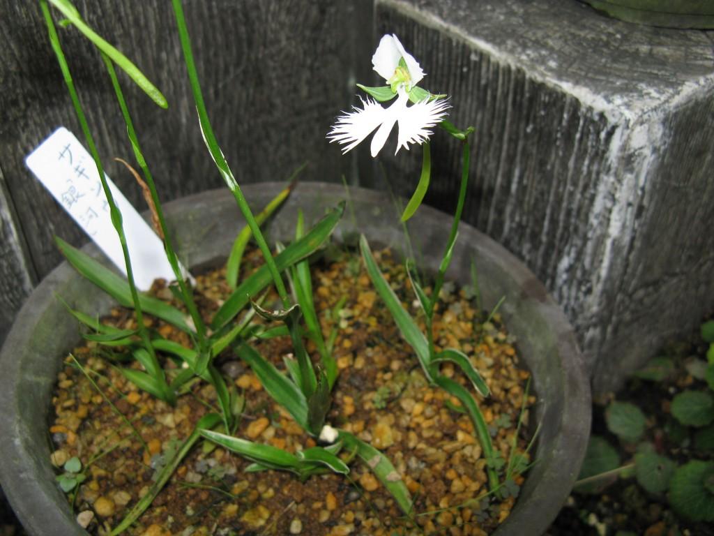 orquídea garca branca