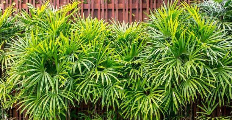 palmeira dama como plantar