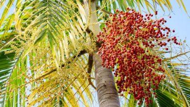 palmeira de natal como plantar