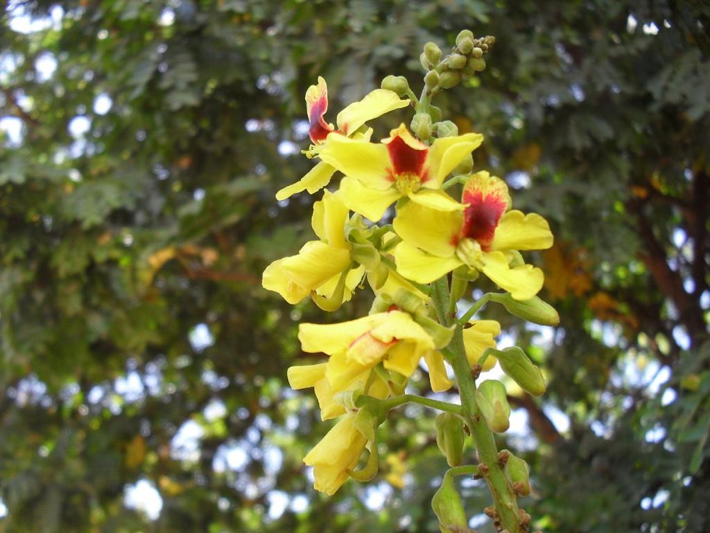 pau-brasil como plantar