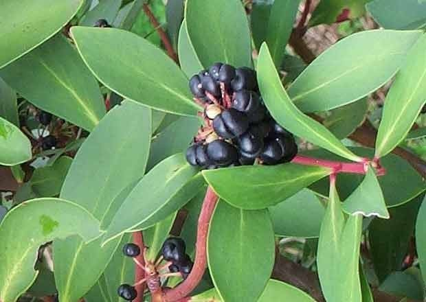 pimenta da tasmania