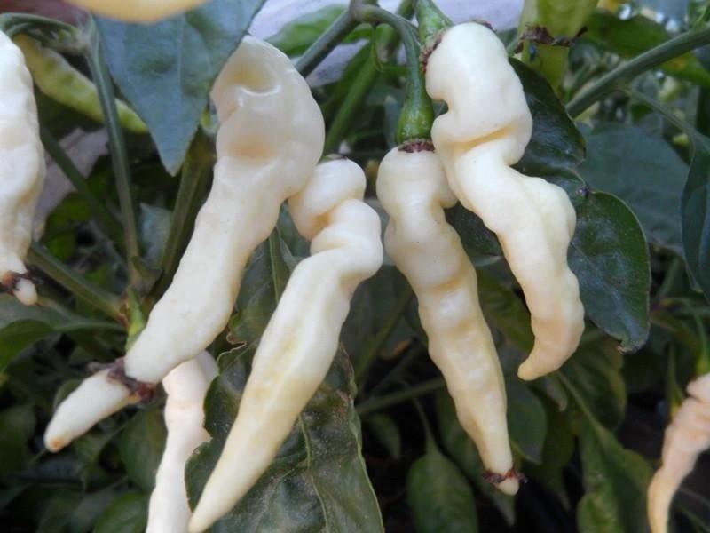 pimenta murupi como plantar