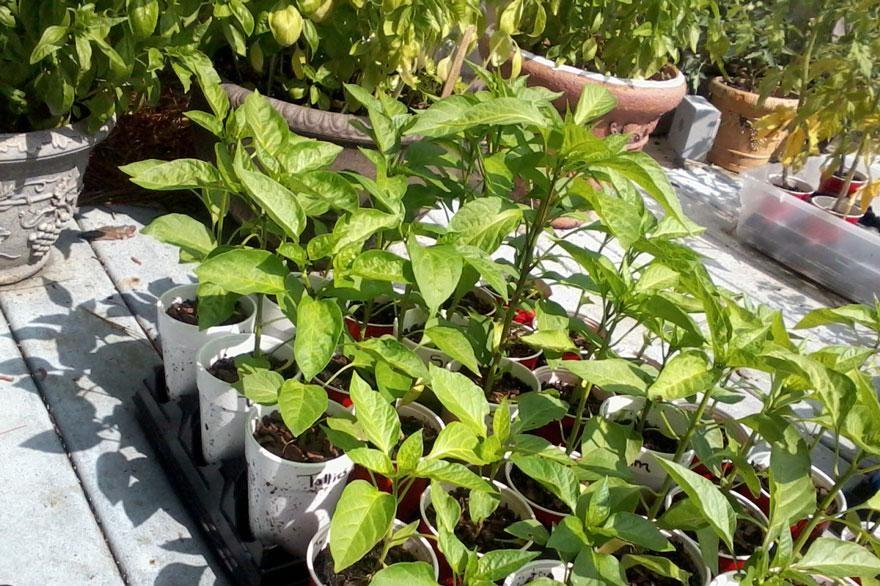 pimentaserrano como plantar