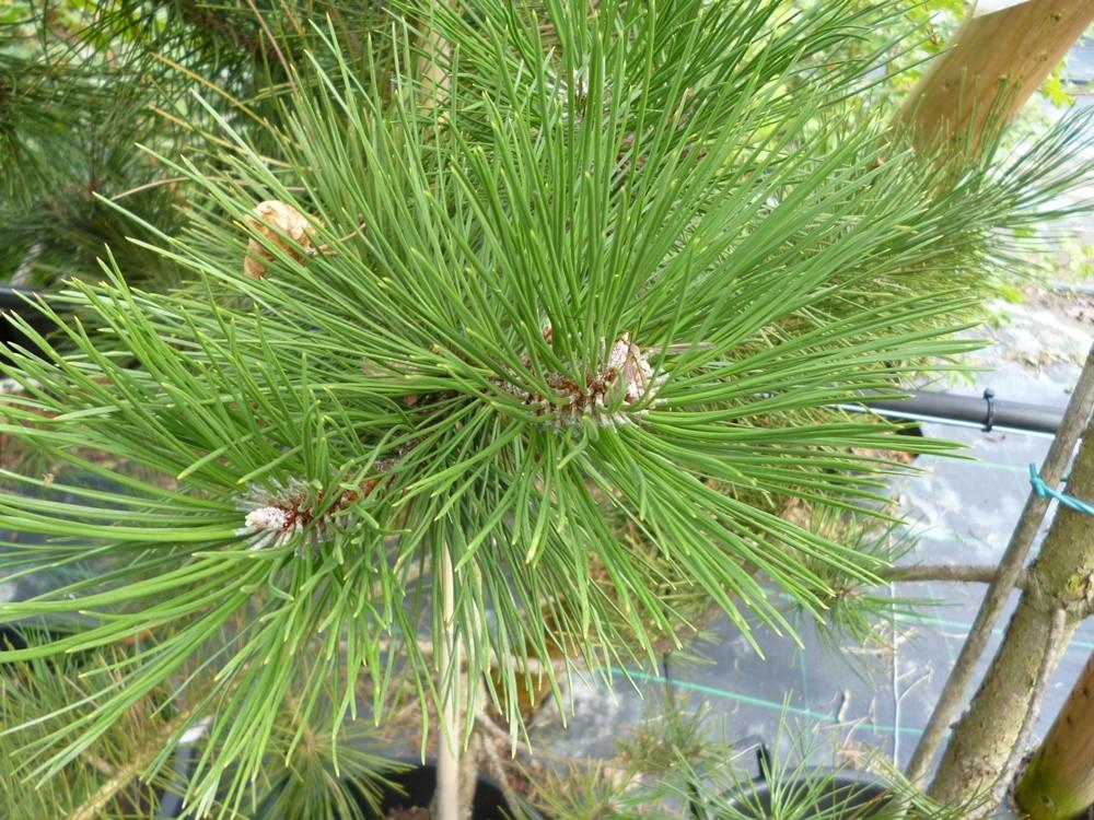 pinheiro austríaco como plantar