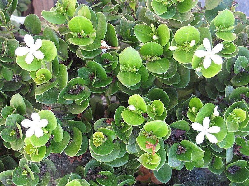 planta ameixa de natal
