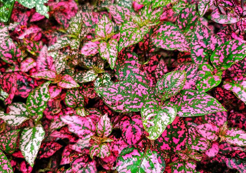 planta confete como plantar